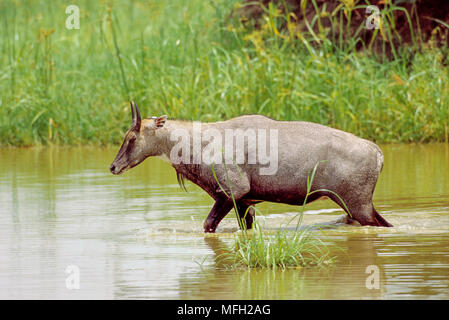 male Nilgai or Blue Bull, (Boselaphus tragocamelus), walking through wetland habitat, Keoladeo Ghana National Park, Bharatpur, Rajasthan, India - Stock Image