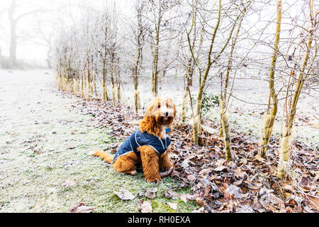 Legbourne Woods, Lincolnshire. 31st Jan 2019. UK Weather: A Frosty, icy morning greets early dog walkers in Lincolnshire, ice, frost, mist, misty Winters morning, Dexter the Cockerpoo, cockapoo enjoying the weather - Stock Image