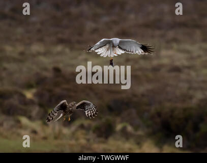 A pair of Hen Harriers (Circus cyaneus) perform a dramatic food pass before female returns to nest with the prey, North Uist, Outer Hebrides, Scotland - Stock Image