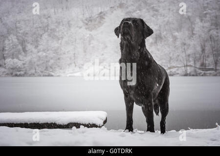 Looking up black dog Labrador Retriever with a frozen lake and snowed forest in the background - Stock Image