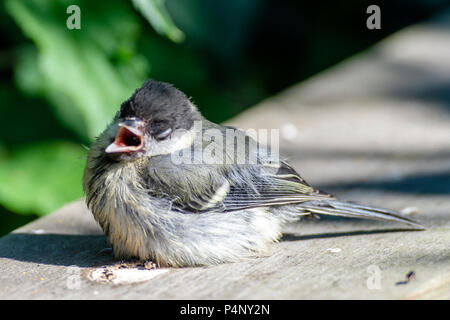 Norht Cave East Yorkshire 22nd June 2018: Blue sky's friendly baby Great Tit enjoys humna contact.. Clifford Norton Alamy  Live News. - Stock Image