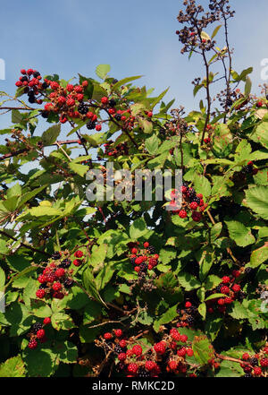 Wild blackberries beside the road in summer, Tamar Valley, Tasmania, Australia - Stock Image