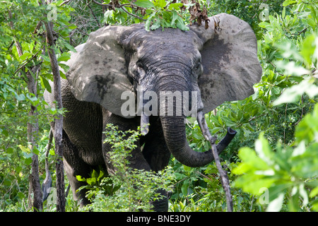 Savannah Elephant, Loxodonta africana, in Mole National Park, Ghana. - Stock Image