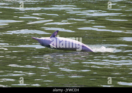 Indo-Pacific Humpback Dolphin (Sousa chinensis) breaching in Hong Kong waters. This coastal species is subject to increasing threats from humans. - Stock Image