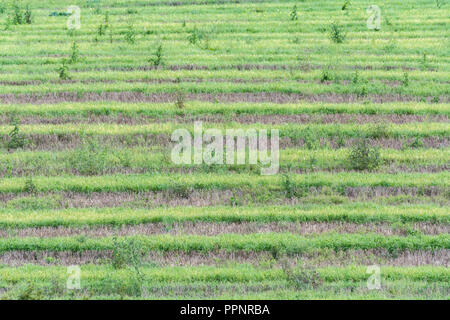 Post-cropped field (UK) - several weeks after barley crop harvested and weeds and grasses re-grow. - Stock Image