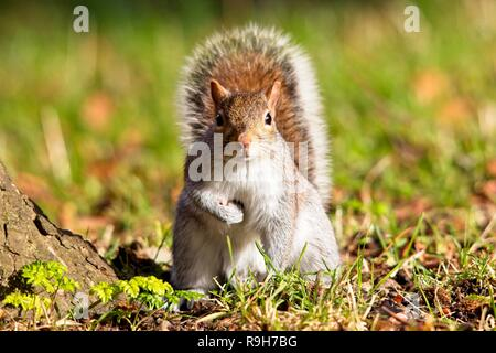 Grey squirrel (Sciurus carolinensis) autumn, East Sussex, UK - Stock Image