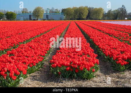 Lisse, Holland - April 18, 2019: Traditional Dutch tulip field with rows of red  flowers and bulb sheds in the background - Stock Image