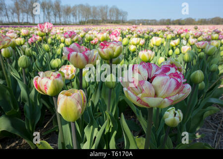 Traditional Dutch tulip field with white and pink colored flowers - Stock Image