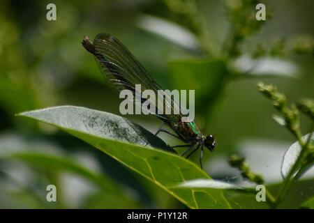 Emerald damselfy resting on a leaf on a river bank in the sun - Stock Image