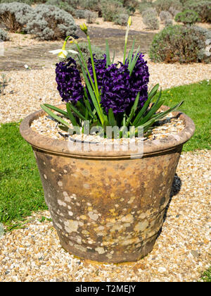 Old clay pot planyed with seasonal dark purple dutch hyacinths in the Lavender Garden at Buckfast Abbey, Devon, UK - Stock Image