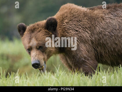 Grizzly bear, brown bear, Ursus arctos, feeding on sedges in the Khutzeymateen Inlet, British Columbia, Canada - Stock Image