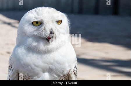 portrait of arctic owl on sunny summer outdoor closeup - Stock Image