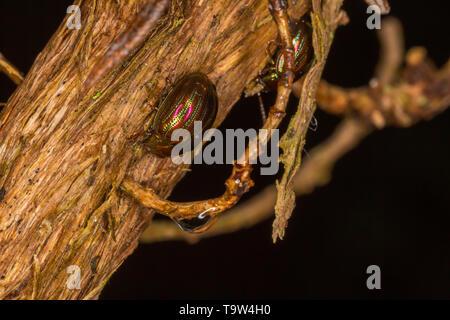 Macro photo of Rosemary Beetle on stripped Rosemary bush on black background. - Stock Image