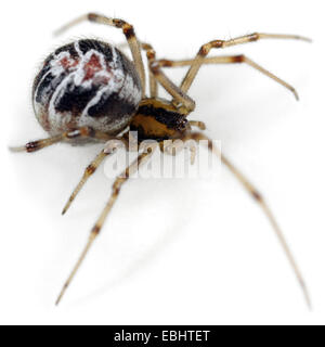 A female Mothercare spider (Theridion sisyphium), on a white background, part of the family Theridiidae - Comb-Footed - Stock Image