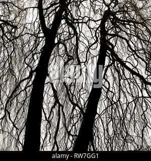 Weeping Copper Birch Tree Silhouette against Sky - Stock Image