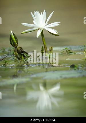 lilly pad flower Saadani Tanzania - Stock Image
