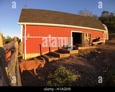 Merrick, New York, USA. September 22, 2016. Nigerian Dwarf Goats enjoy first day of Autumn, the Autumnal Equinox, - Stock Image