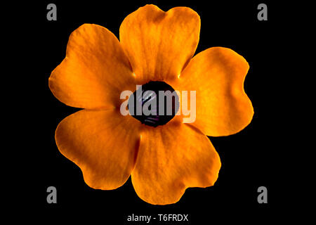 thunbergia flower macro on black - Stock Image