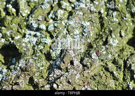Firebug (Pyrrhocoris apterus) on an old tree bark covered with lichen. - Stock Image