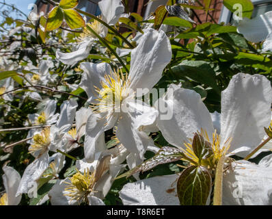 White clematis montana growing on a low wall in sunshine at Sidmouth, Devon, UK. Clematis montana var. grandiflora - Stock Image
