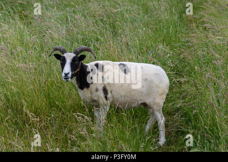 A recently shorn Jacobs sheep looking up from grazing the long grass on top of Westbury white horse - Stock Image