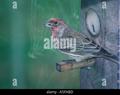 House Finch - Stock Image