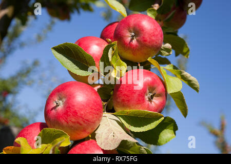 Apples on the tree, Lower Saxony, Germany, Additional-Rights-Clearance-Info-Not-Available - Stock Image