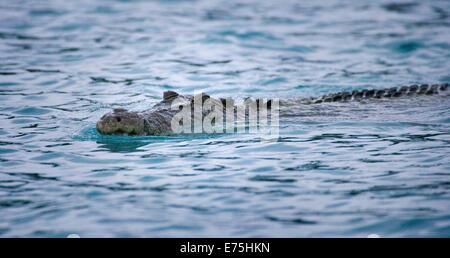 Saltwater Crocodile northern Australia - Stock Image