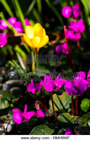 Cyclamen Coum and a yellow crocus planting combination in an English garden, UK. - Stock Image