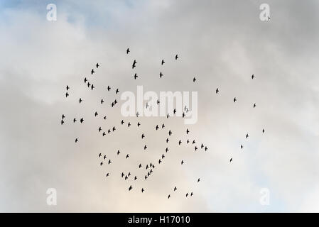 Large flock of wild starlings flying against an overcast sky - Stock Image