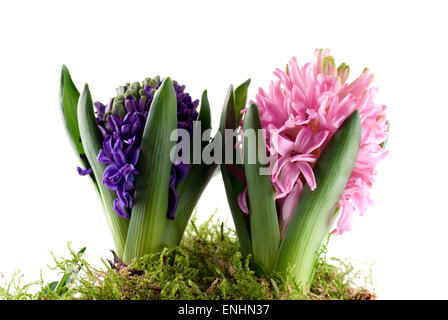 Two hyacinths in green moss close up. - Stock Image