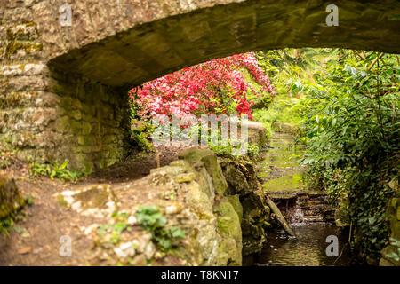 Selective focus colour photograph focused on pink azaelea taken under old stone bridge. Branksome chine gardens, Poole, Dorset, England. - Stock Image