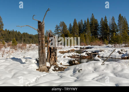 Snow covered ground and dead trees at Donner Memorial State Park on a winters day with  blue sky - Stock Image