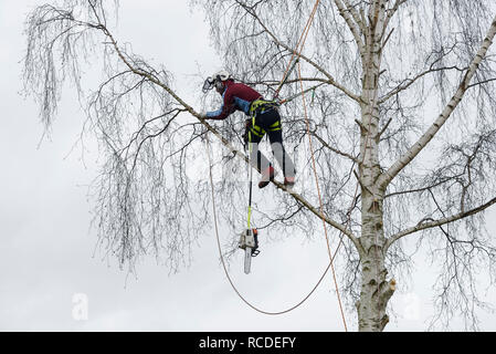 A tree surgeon prepares a silver birch branch for felling with a chainsaw while wearing a full safety harness with climbing ropes - Stock Image