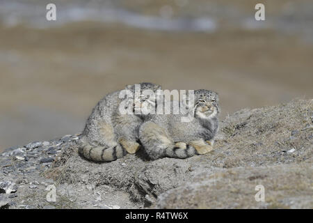Two Pallas's Cats - Stock Image