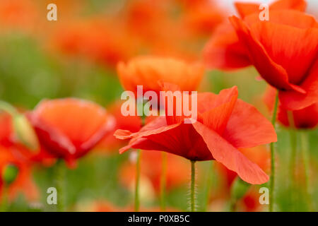 Poppy flowers in bloom on an overcast spring day, Enfield, London - Stock Image