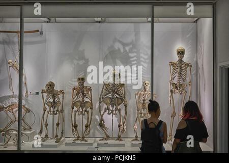 evolution  great apes  darwinism - Stock Image