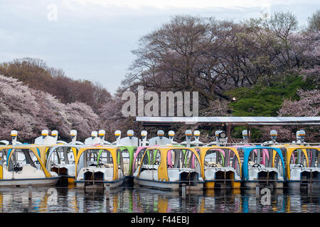 Colorful swan boats docked with cherry blossom sakura in background - Stock Image