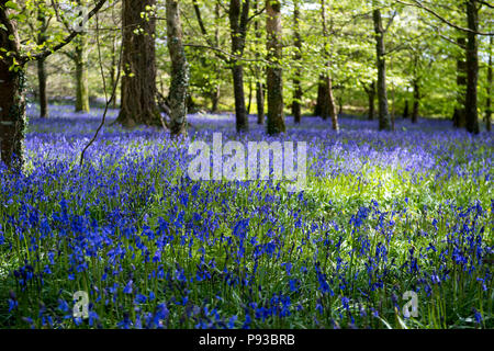 Bluebell woods in Cornwall, England, UK - Stock Image