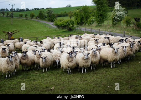 flock of sheep in a field somewhere in East Sussex, United Kingdom - Stock Image