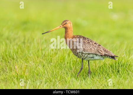 Common redshank (tringa totanus) chick in water.  These Eurasian wader bird are common breeders in the agraric grassland of the Netherlands. - Stock Image