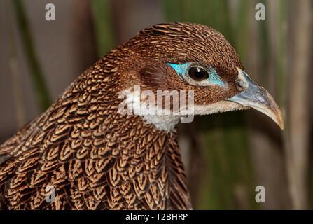Himalayan Monal female ( lophophorus impejanus) - Stock Image