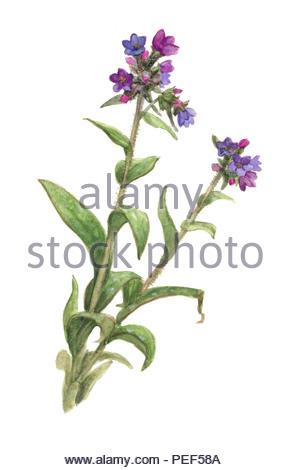 true lungwort pulmonaria officinalis - Stock Image