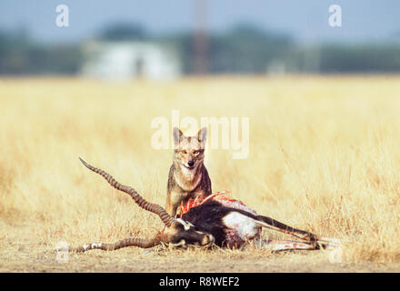 Indian Jackal, Canis aureus indicus, scavenging on male Blackbuck kill, Antilope cervicapra, Gujarat, India - Stock Image