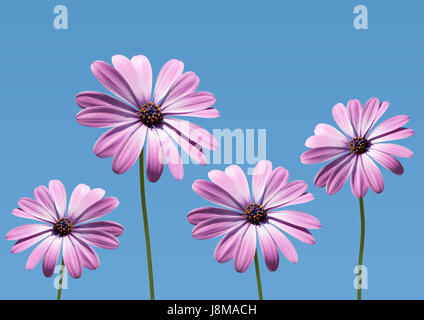 closeup of pink daisybushes, Osteospermum, with blue sky background - Stock Image