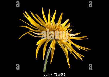 yellow wild flower macro in Colombia - Stock Image