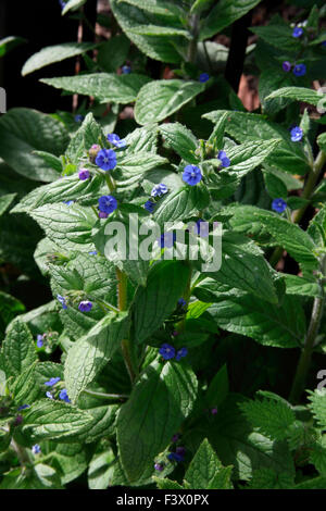 Anchusa barrelieri Alkanet close up of plant in flower - Stock Image