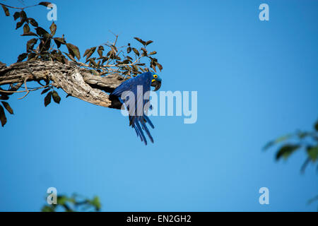 Adult Hyacinth Macaw, Anodorhynchus hyacinthinus, starting to fly from a tree, Pantanal, Mato Grosso, Brazil, South - Stock Image