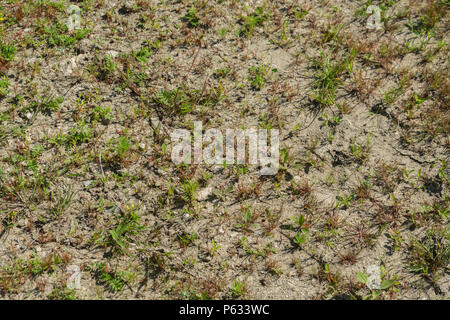 Withering grasses and weeds in parched field - metaphor for water shortage, drought, heatwave concept, heatwave crops,water crisis. - Stock Image