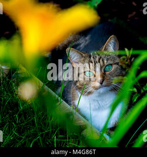A beautiful tabby cat with rich green eyes, sitting in a garden border looking straight into the camera. Buckinghamshire, - Stock Image